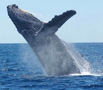 Une baleine à bosse qui sort de la mer