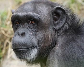 le visage d'un chimpanzé