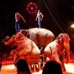 cirque-éléphants-piste
