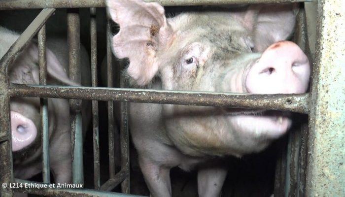cochons elevage intensif derrière barreaux